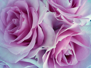 Rose di ringraziamento